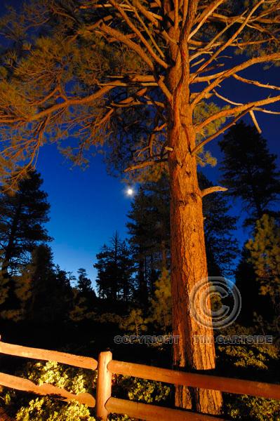 pine tree bryce