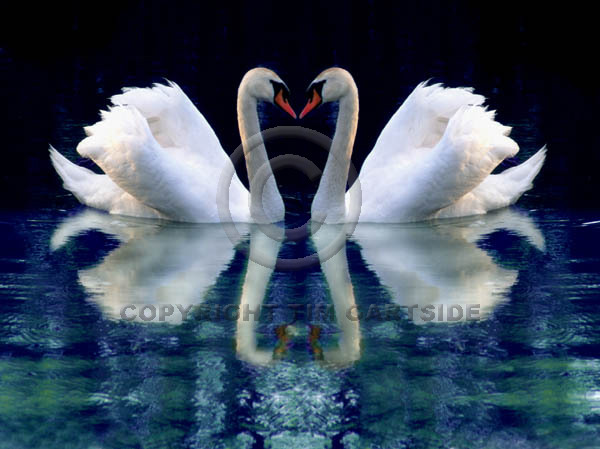 swans reflection