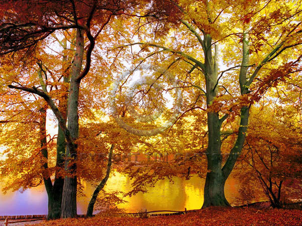keston golden autumn