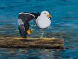 Great Black Backed Gull 2