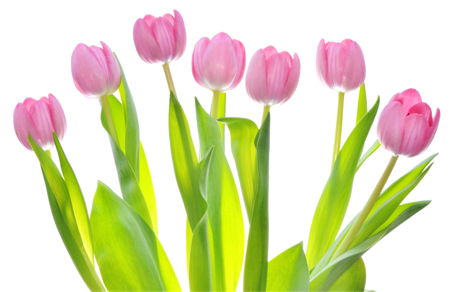 Pink tulips bunch