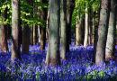Bluebell woods in sunshine