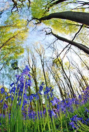 bluebells view