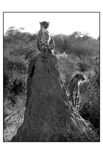 Namibian cheetahs