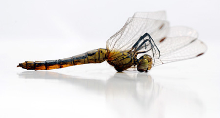 dragonfly rip