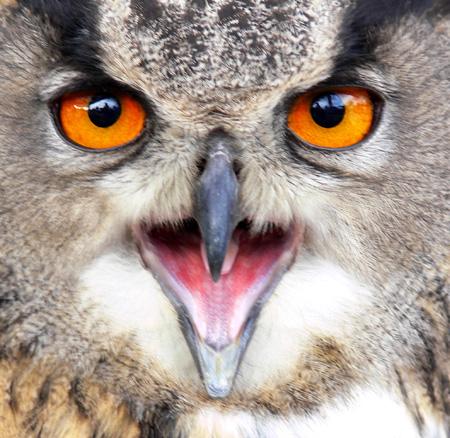 eagle owl close