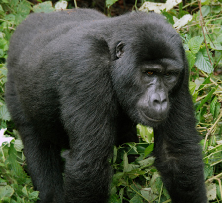 mountain gorilla face uganda