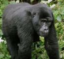 mountain gorilla face uganda