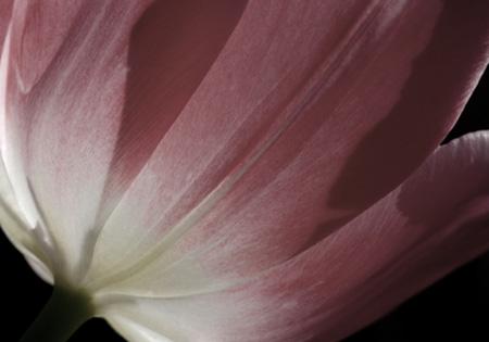 pale tulip