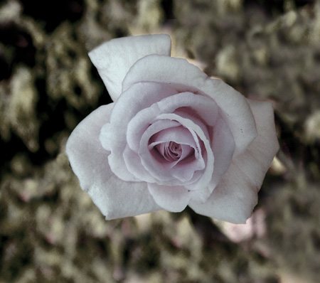 pink rose muted