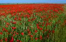 poppy field fowlmere