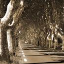 Provence plane trees