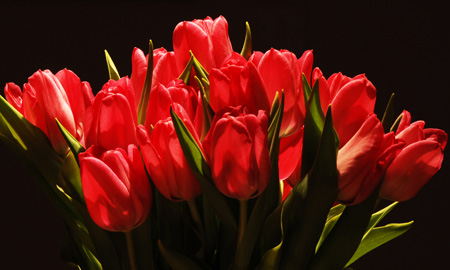 red tulips bunch