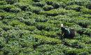 rwanda tea picker