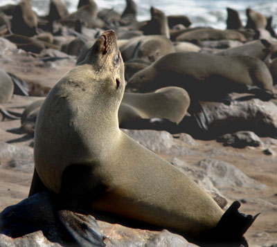 Snooty seal
