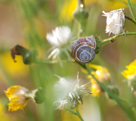 snail and dandelions