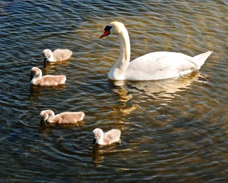 swan and 4 cygnets