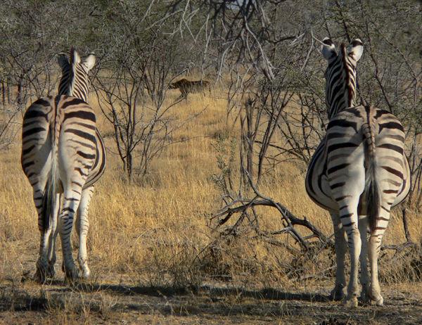 Zebra watching cheetah