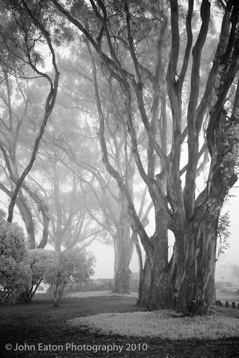 Eucalyptus, La Selva #1
