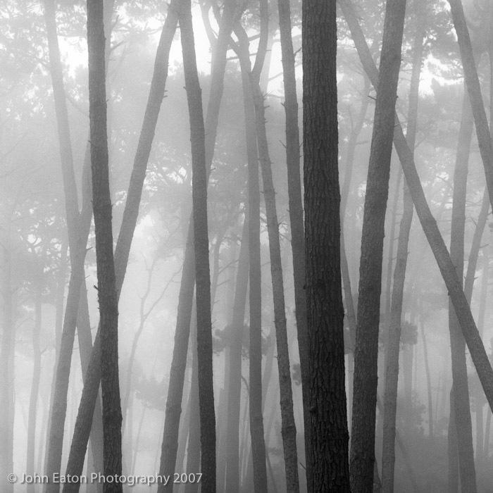 Monterey Pines #1