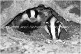 Badger Cubs at their Sett