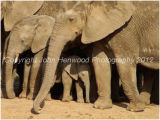 Elephants Protecting Their Young
