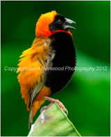 (Southern) Red Bishop Bird