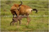 Red Hartebeest Cow with newborn calf