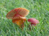 Wax Cap on Mature Pasture
