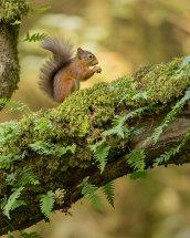 1067 Red Squirrel Loch Fyne Scotland