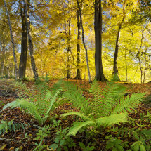 1386 Hovingham Wood Autumn Glory