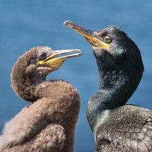 1410 Cormorants