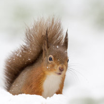 2193 Red Squirrel Dumfries and Galloway Scotland