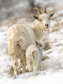 2477 Wild Goats