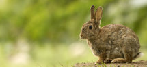 5029a Rabbit in Littondale
