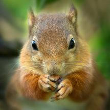 6724 Red Squirrel Lochan Eilein Scotland