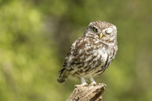 7141 I Spy! Little Owl The Vale of York North Yorkshire