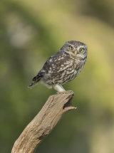 7183 Little Owl