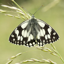 7402 Marbled White