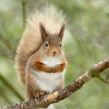 8333 Red Squirrel Lochan Eilein Cairngorms Scotland