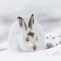 8635 Mountain Hare