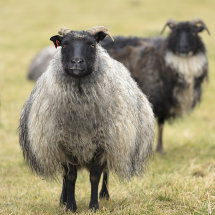 9014 Icelandic Sheep