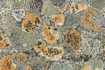 9081 Boulder Lichen