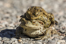 9339 - Common Toads