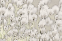 9497 Hare's-tail Cottongrass