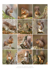 Red Squirrels Glenmore