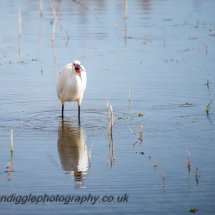 Little Egret with prey
