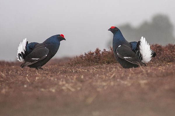 19 Black Grouse