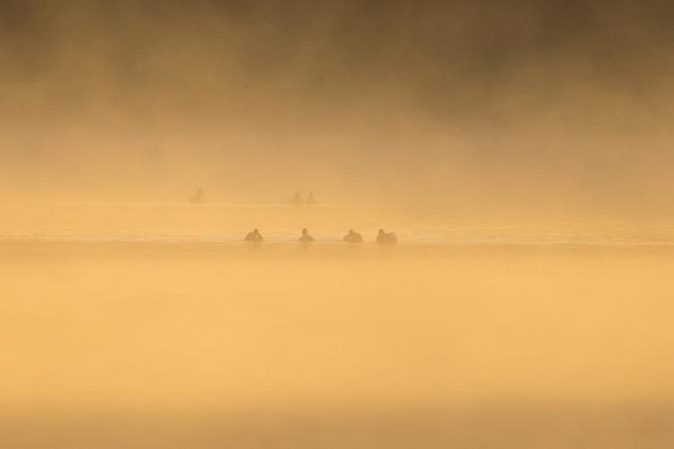 Mallards at sunrise