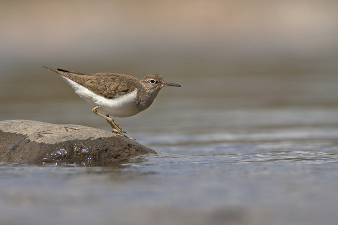 COMMON SANDPIPER 2